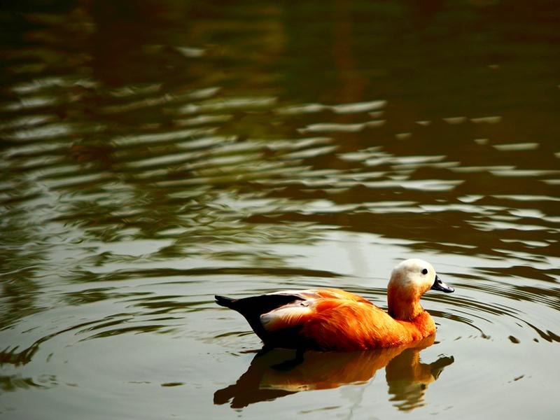 黑天鹅;白孔雀;白冠长尾雉;红腹角雉;翘鼻麻鸭;美国火鸡;灰冠鹤.